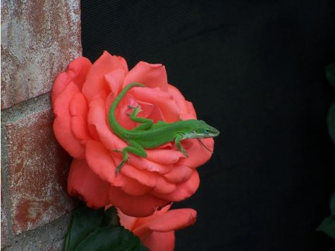 Red Rose-Green Lizard
